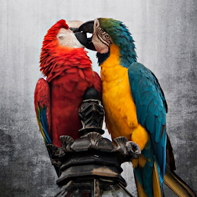 The Kiss by Cheryl Nestico - Animals Birds ( bird, pemba, kissing, red, byra, blue, byra and pemba, macaws, mozambique, lamp post, macaw, , improving mood, moods, love, the mood factory, inspirational, passion, passionate, enthusiasm )