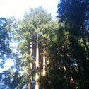 Red wood, sequoia