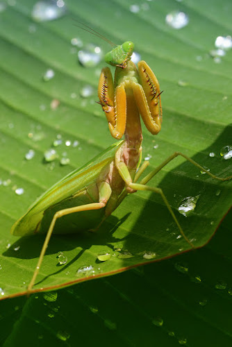 Kungfu mantis by Tele Nicotin - Animals Insects & Spiders ( kungfu, praying, mantis, insects, natural )