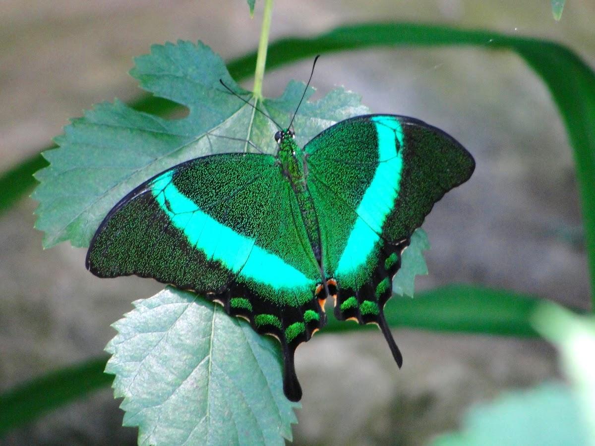 Emerald Swallowtail
