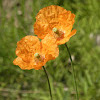 "Iceland poppy ""Champagne bubbles"""