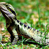 Australian Water Dragon
