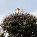 White stork, cigüeña común