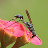 Mud daubers - Wasp