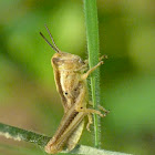 Grasshopper (nymph)