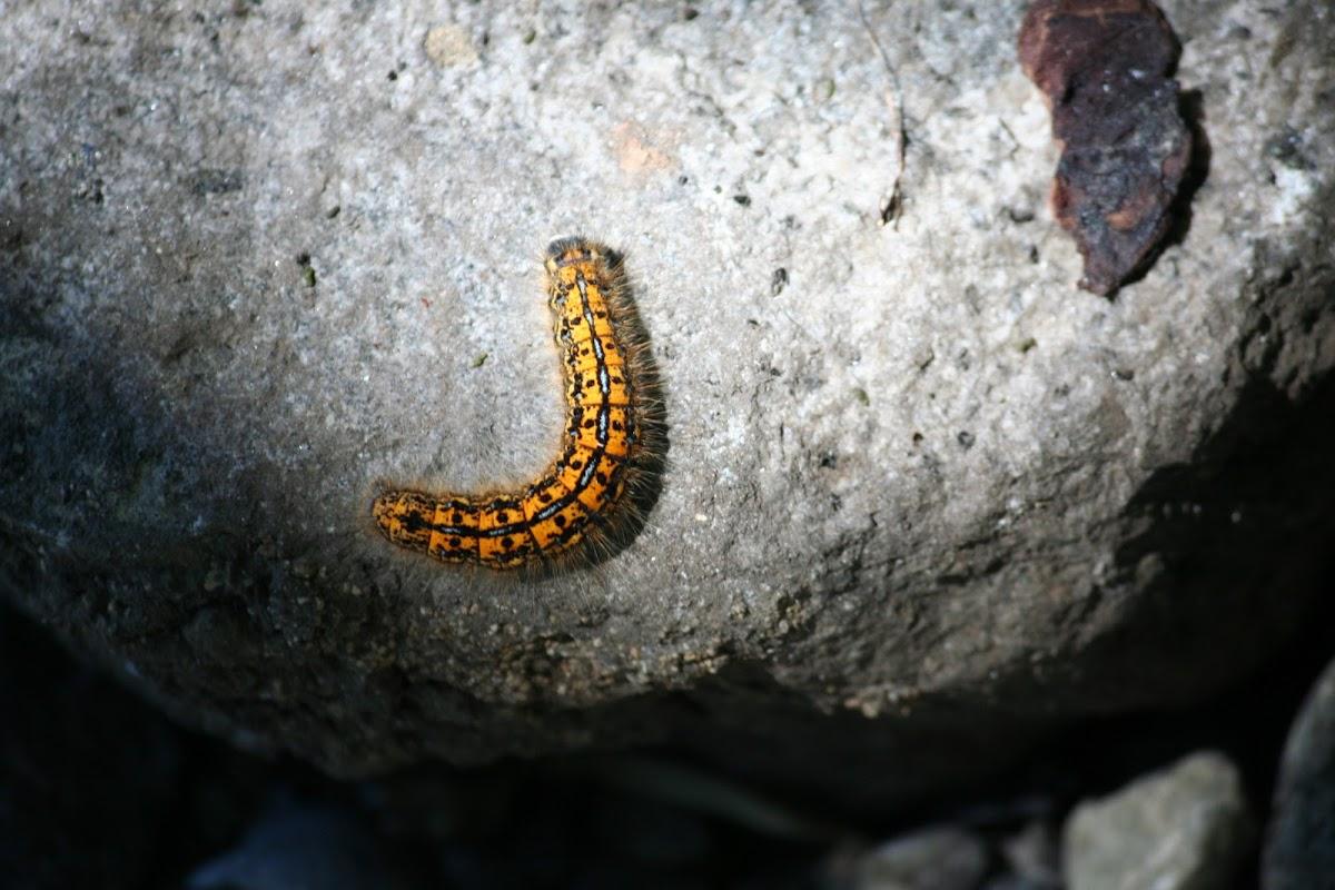 Western Tent Caterpillar