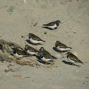 Ruddy Turnstone (Rola-do-mar)