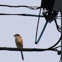 Bull-Headed Shrike