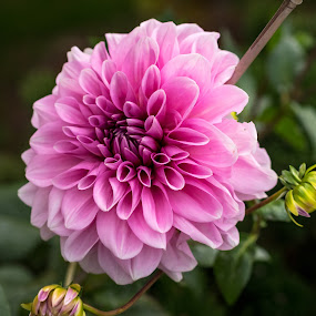 A promise of more to come by Donna Brittain - Flowers Single Flower ( fona, nature, canada, autumn, dahlias, fall, ontario, pink, flowers, buds, garden, blossoms,  )