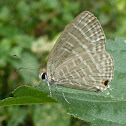 Common Cerulean (WSF)