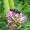 Coreidae bug
