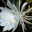Nightblooming cereus