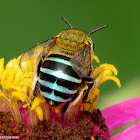 Blue-banded Bee ♀