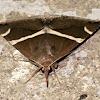 Bastilla Noctuid Moth