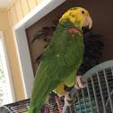 Double yellow head amazon parrot