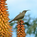 Greater double-collared sunbird (female)