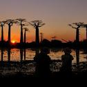 Grandidier's baobab
