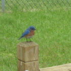 Eastern Bluebird [male]