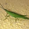 Vegetable Grasshopper