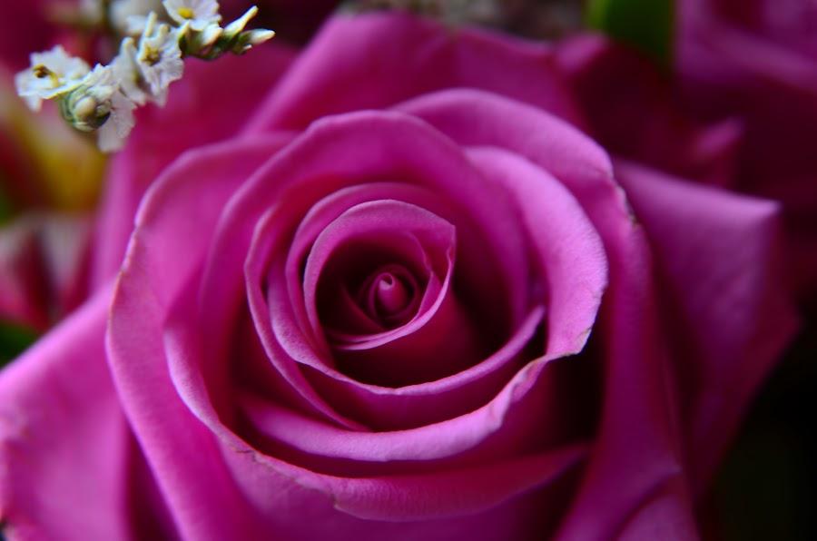 Pink Rose by Lorraine D.  Heaney - Flowers Single Flower (  )