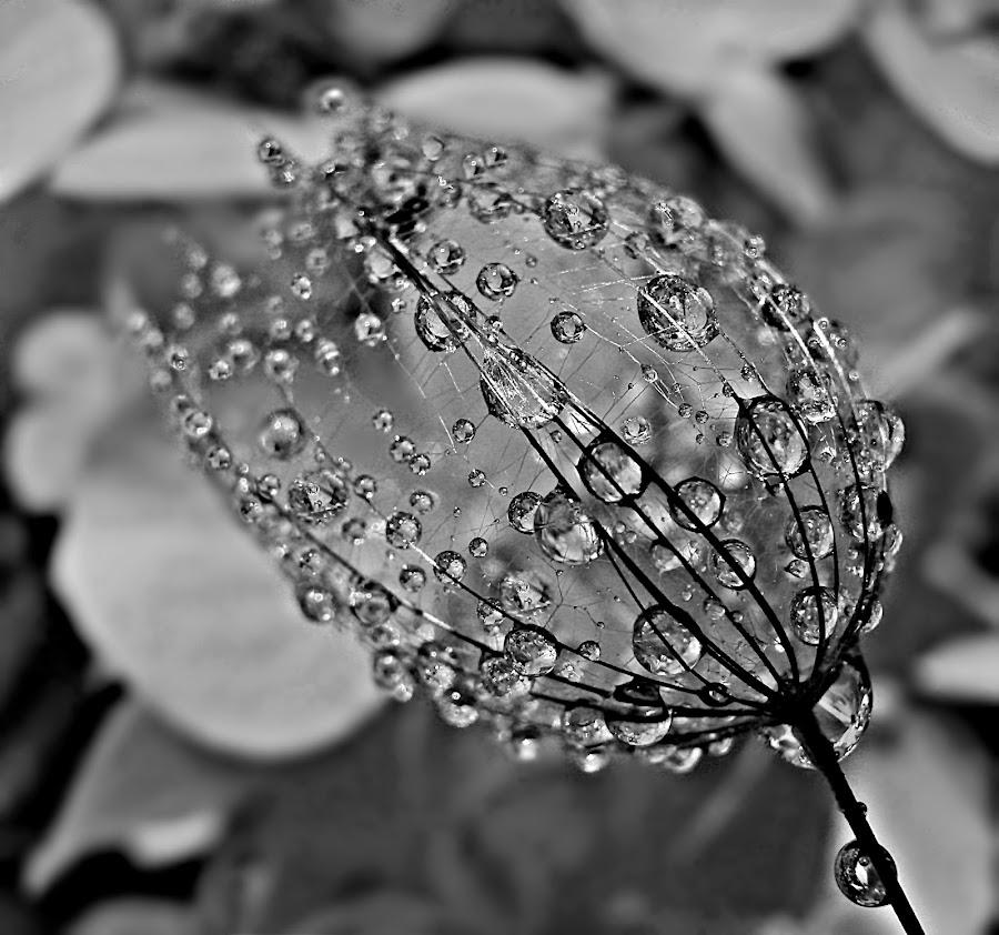 Keep The Memory Of The Magic by Marija Jilek - Black & White Flowers & Plants ( magic, seed, goat-beard, flowers/plants, bčacl & white, memory )