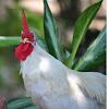 Bantam Chicken
