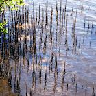 Black Mangrove.