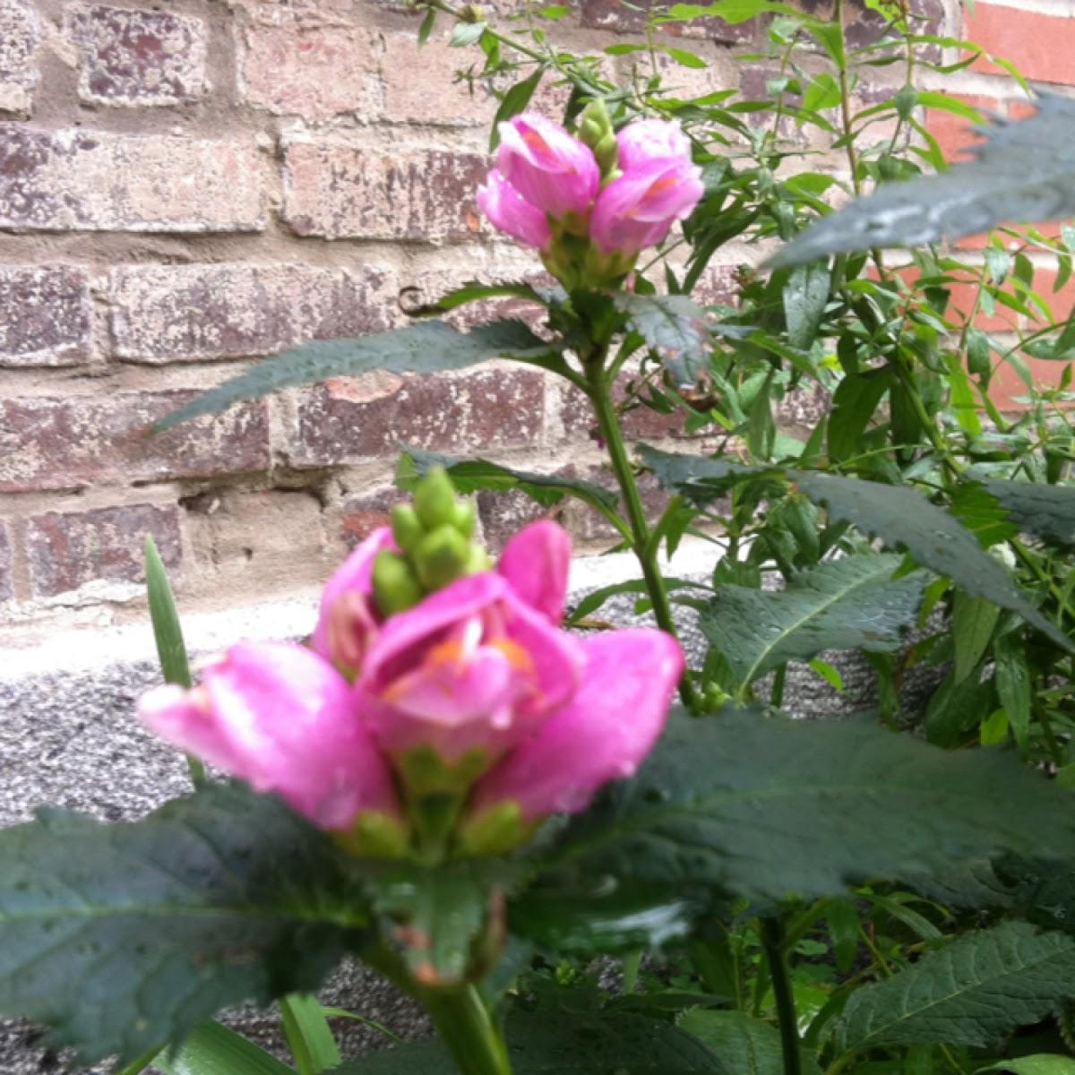 Pink Turtleheads