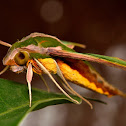 Green Sphinx Moth