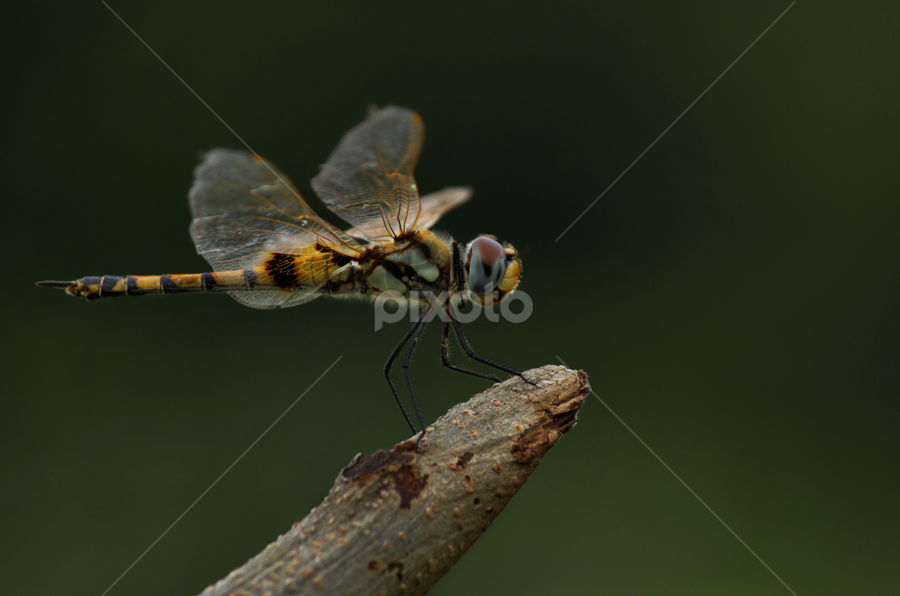 Thattaan... the dragon fly... by TRINETRINI RAMESHA - Animals Insects & Spiders
