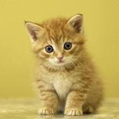Kitten Live Wallpaper