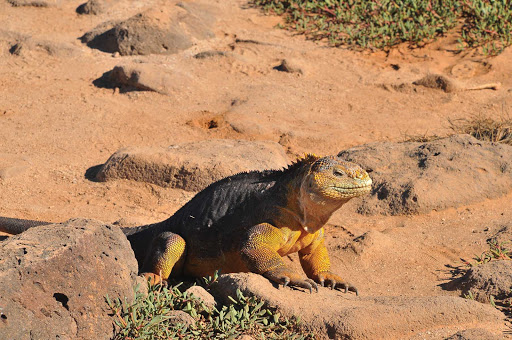 Galapagos_land_iguana_2 - You'll likely see a land iguana while adventuring the lands of Galapagos.