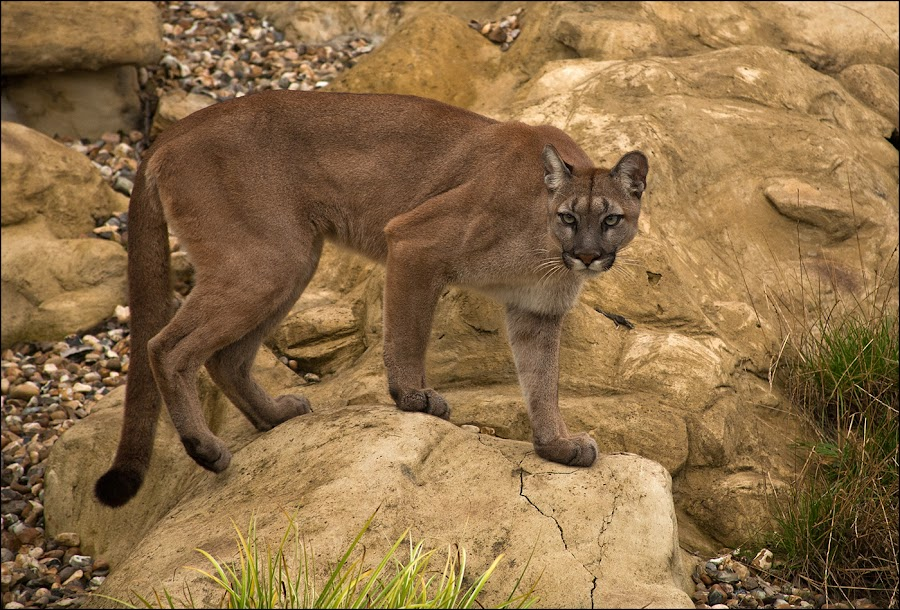 Puma by Eric Bush - Animals Lions, Tigers & Big Cats ( mountain lion, puma,  )