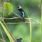 Golden-hooded Tanagers