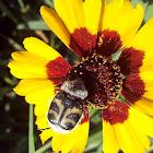 Bee beetles