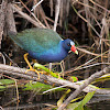 American Purple Gallinule