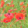 Wildflowers of the UK