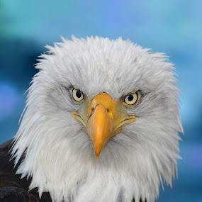 Pretty Bird by Pam Mullins - Animals Birds ( bird, nature, bald eagle, wildlife, raptor, close up,  )