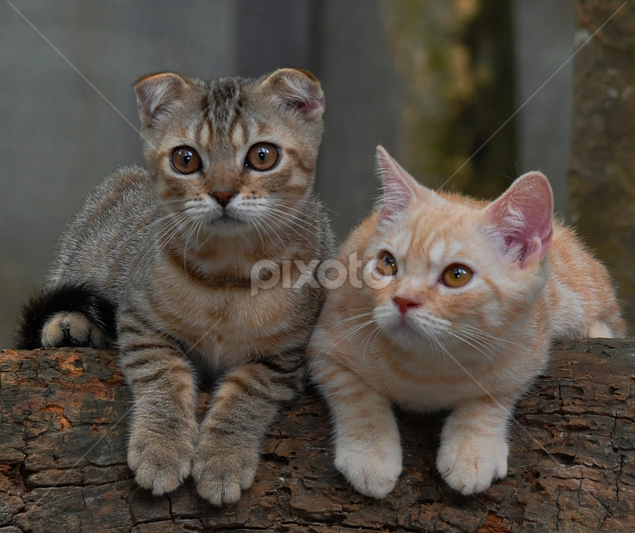 Scottish by Cacang Effendi - Animals - Cats Portraits ( cattery, kitten, cat, animals, chandra )
