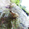 Pygmy Rain Frog