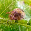Bertrana spider