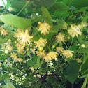 Little-leaf Linden