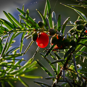 yew by Artur Kuligowski - Nature Up Close Other plants ( yew )