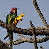 Plum-headed Parakeet (male)
