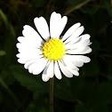Daisy (Gänseblümchen)