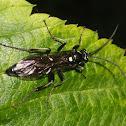 Ichneumons wasp