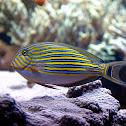 Clown Surgeonfish Tang