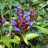 Prunella vulgaris (Selfheal)