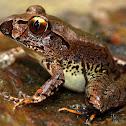 Stuttering Frog ( Southern Barred Frog )