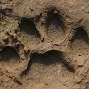Jaguar Track